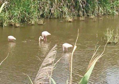 flamingos-scopri-cagliari-molentargius